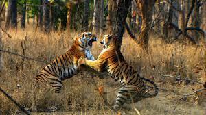 tiger cub s prey david attenborough tiger in the