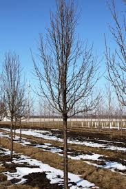 shade trees grove nursery