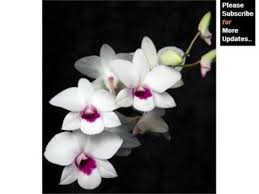 dendrobium orchid white dendrobium orchids orchid breed identification by picture
