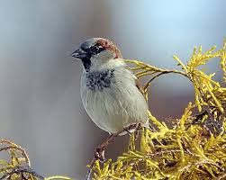 house sparrow identification all about birds cornell lab of