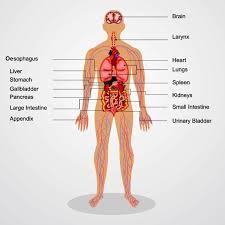 Human Anatomy Respiratory System Respiratory System Of Full Human Body Human Body Anatomy