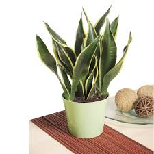 great low maintenance office plants peace lily home design