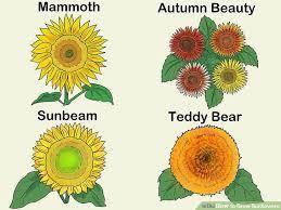 teddy sunflowers 3 ways to grow sunflowers wikihow