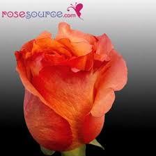 52 best our bi color ecuadorian roses images on pinterest floral