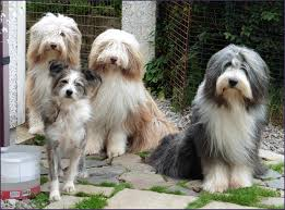 bearded collie adoption brown bearded collie puppies dog and cat