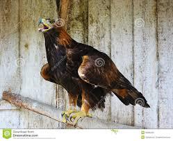 golden eagle aquila chrysaetos stock photos image 35990423