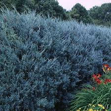 best 25 juniper tree ideas on twisted tree types of