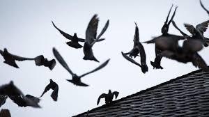 tauben auf dem balkon dach als nistplatz tauben kot auf balkon wann der vermieter