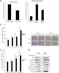 lung tumor associated dendritic cell derived amphiregulin