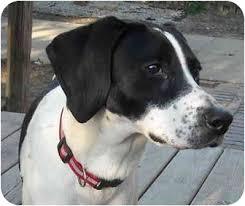 bluetick coonhound mix puppies treeing walker coonhound pointer mix puppy for adoption in swartz
