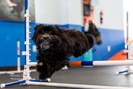 affenpinscher reviews august dog of the month u2013 libby zoom room dog training