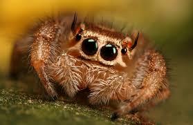 jumping spiders are so fucking cute right u003c3 album on imgur