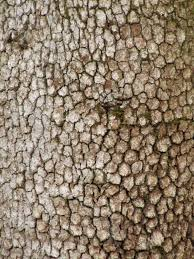 White Oak Bark Ed And Reub Friday Shoot Out Trees