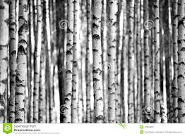 birch trees in black and white stock images image 33928684