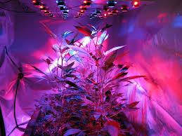 plant light for weed growing marijuana with led growshow