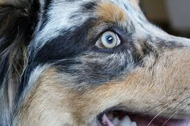 australian shepherd eye color genetics what color are you aussies eyes wigglebutts