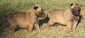 belgian malinois puppies for sale 2016 fantastic belgian malinois puppies for sale dogs u0026 puppies