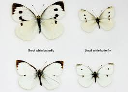 agpest great white butterfly