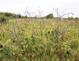 grassland native plants restoring missouri u0027s native grasslands missouri department of