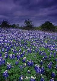 Bluebonnet Flowers - best 25 texas bluebonnets ideas on pinterest texas pride