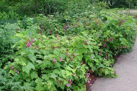 plant profile purple flowering raspberry a summer