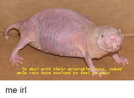 Naked Mole Rat Meme - to dea with their miserab t ves naked mole rats have evolved to