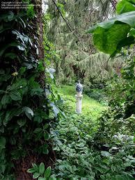 my favorite perennial flowering vines dave u0027s garden