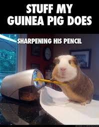 Shaved Guinea Pig Meme - this guinea pig had a wider range of hobbies than i do not oc