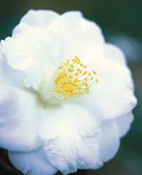 camellia flowers camellia flower guide growing pruning more garden design