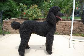 pictures of poodle haircuts standard poodle haircut styles hairs picture gallery