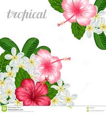 background with tropical flowers hibiscus and plumeria image for