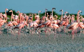 baha mar resort in the bahamas will pay you to hang with flamingos