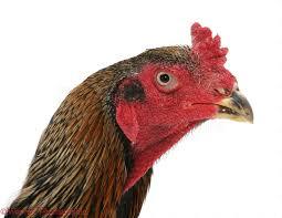 shamo cockerel portrait photo wp08755