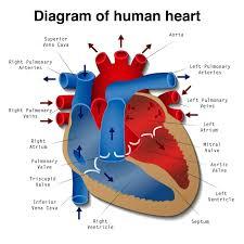 human heart drawing with parts name human heart diagram anatomy