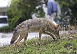 Pennsylvania wild animals images Coyotes are 39 everywhere 39 in pennsylvania but they pose little jpg