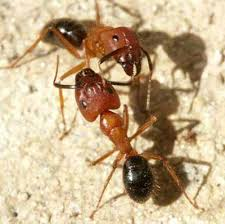 Ants In Bathtub Florida Carpenter Ant Camponotus Floridanus Buckley And