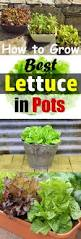 growing lettuce in containers how to grow lettuce in pots