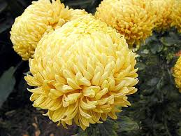 Flowers For Mum - file mums several flowers yellow jpg wikimedia commons