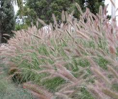 ornamental grasses grndoordesign