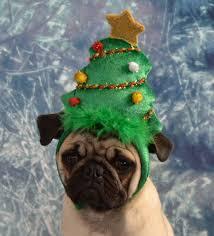 christmas tree pug boo the pug dapuglet flickr