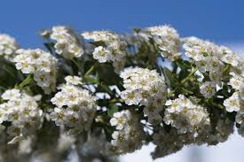 Shrub Small White Flowers - free images branch blossom flower bloom bush spring