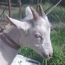 cabrito assado goat butchery for beginners casalinho casalinho