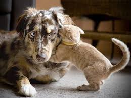 australian shepherd and cats best friends cats and dogs theberry