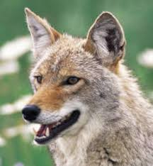 California wild animals images Massachusetts town stresses dog leash law after five coyote jpg