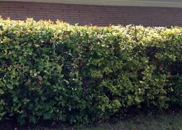 Types Of Garden Trees Great Screening Shrubs For North Texas When Privacy Matters
