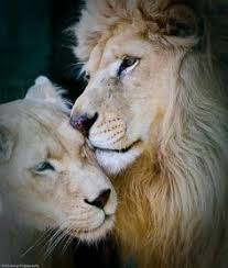 le heart and zi mind song of the lioness poetry pinterest