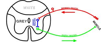 Knee Reflex Arc Ch 13 Basic Reflex Terminology