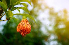 lantern flower lantern flower stock photo image 71062033
