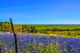 Bluebonnet Flowers - the 70 year bluebonnet war hppr