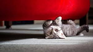 The Red Sofa Grey Kitty Under The Red Sofa Hd Wallpaper